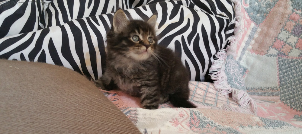 Maine Coon kitten for sale, silver tabby five weeks old.