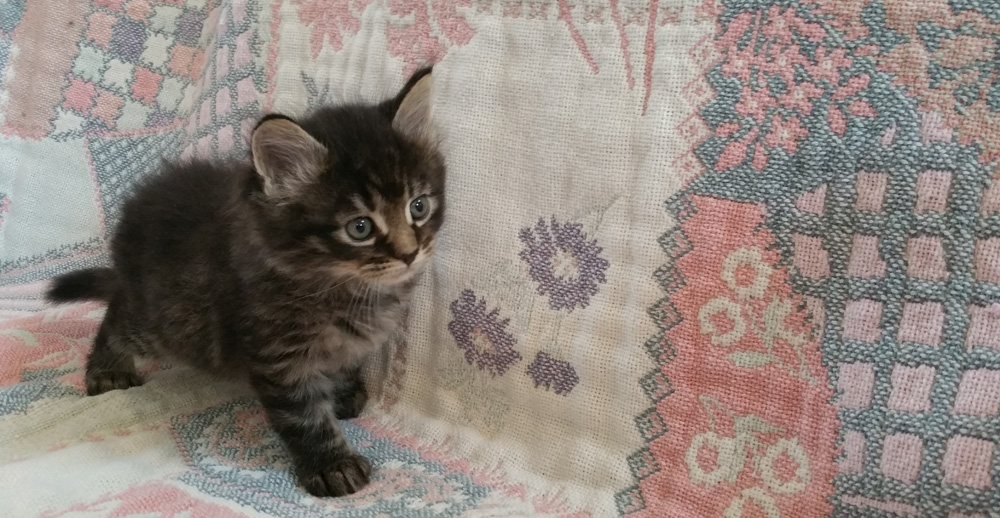 Sweeney Farm - Alpine TX - Maine Coon Cats and Kittens
